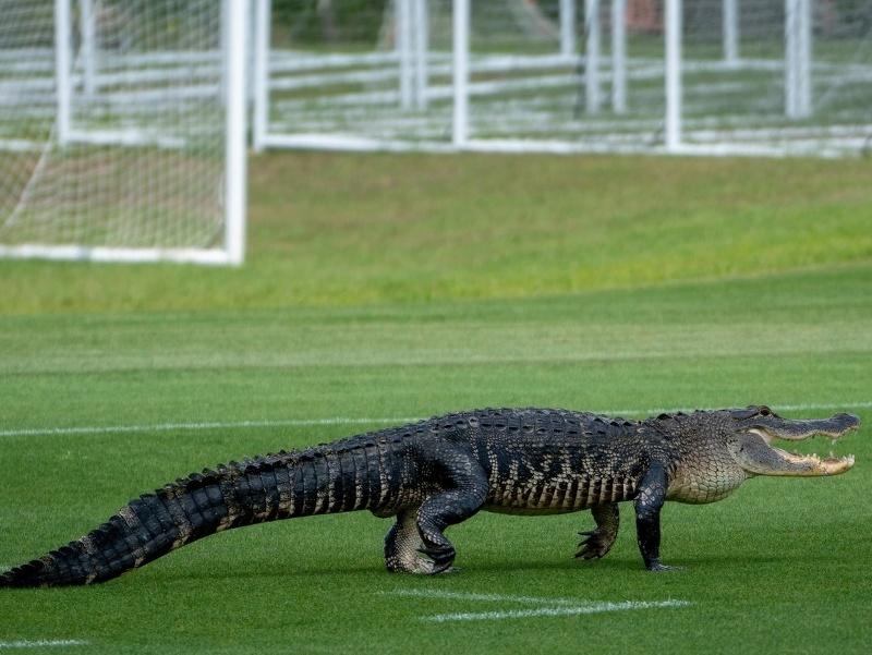 Aligátor na tréningovom ihirsku